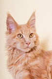 Maine Coon kitten watching Stock Images