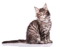 Maine Coon kitten on white stock photos