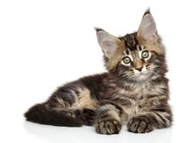 Maine Coon kitten on white background Royalty Free Stock Photo