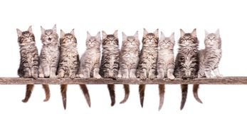 Maine Coon kitten on white. Family group of ten fluffy beautiful Maine Coon kittens. Cats isolated on white background. Portrait of beautiful domestic kitty royalty free stock photography