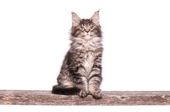 Maine Coon kitten on white. Maine Coon kitten 2 months old. Cat isolated on white background. Portrait of beautiful domestic kitty Stock Image