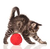 Maine Coon kitten. With yarn ball toy isolated over white background Stock Images