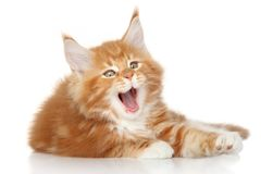 Maine Coon kitten yawn Stock Images