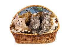 The Maine coon kittens Stock Image