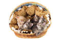 The Maine coon kittens Royalty Free Stock Photo