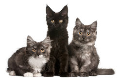 Maine Coon Kittens, 12 weeks old, sitting. In front of white background Royalty Free Stock Photo
