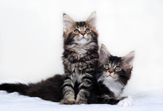 Maine Coon Kittens Stock Photos