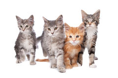 Maine Coon kittens. In front of a white background stock image