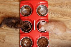Maine Coon kittens eat dry food from iron bowls royalty free stock photo