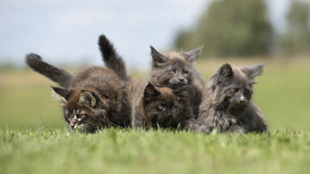 Maine coon kittens  on the forest ground Stock Photo