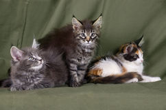 Maine coon kittens grou Stock Image