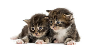 Maine coon kittens looking away Stock Images