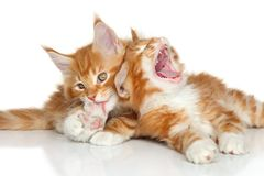 Maine Coon kittens playing Royalty Free Stock Photo