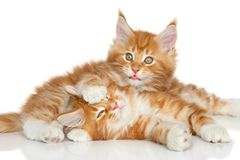 Maine Coon kittens playing. Portrait on a white background Royalty Free Stock Photography