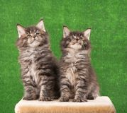 Maine Coon kittens Royalty Free Stock Photo