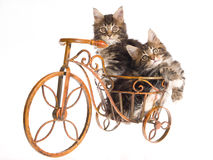 Maine Coon kittens sitting bicycle Royalty Free Stock Images