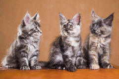 Maine Coon kittens Stock Photography