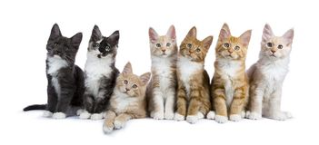 7 Maine Coon kittens on white. Group of seven maine coon cats / kittens looking at camera isolated on white background Royalty Free Stock Photos