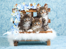 Maine Coon kittens on wooden bench. Cute Maine Coon kittens sitting on miniature wooden bench decorated with flowers and fur Stock Image