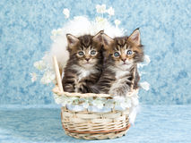 Maine Coon kittens in woven crib. Cute Maine Coon kittens sitting inside miniature woven crib with flowers and fur Royalty Free Stock Photography