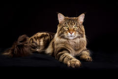 Maine Coon kot Obrazy Royalty Free