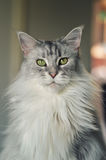 Maine Coon kot Obraz Royalty Free
