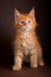 Maine coon kot na czarnym brown tle Zdjęcia Royalty Free