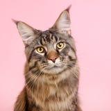Maine coon kot na pastelowych menchiach obrazy royalty free