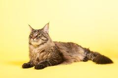 Maine coon kot na pastelowym kolorze żółtym Zdjęcie Stock