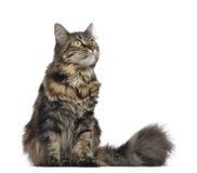 Maine coon kot, obsiadanie i przyglądający up, Obraz Stock