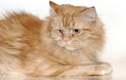 Maine coon kota czerwień fotografia royalty free
