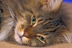 Maine Coon kota zakończenie up zdjęcia stock