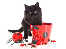 Maine Coon with ladybirds Stock Photos