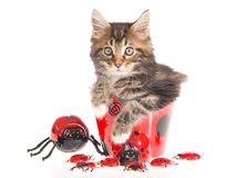 Maine Coon with ladybirds Stock Photo