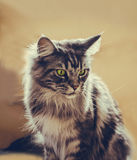 Maine Coon. The largest cat. Portrait of grey big cat main coon at home. Close up of handsome adult maine coon on blur background Stock Photography