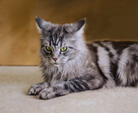 Maine Coon. The largest cat. Portrait of grey big cat main coon at home. Close up of handsome adult maine coon on blur background Stock Image