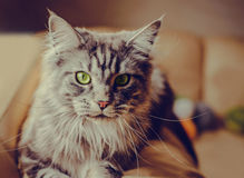 Maine Coon. The largest cat. Portrait of grey big cat main coon at home. Close up of handsome adult maine coon on blur background Royalty Free Stock Images