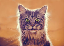 Maine Coon. The largest cat. Portrait of grey big cat main coon at home. Close up of handsome adult maine coon on blur background Stock Photos