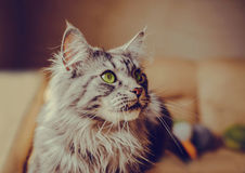 Maine Coon. The largest cat. Portrait of grey big cat main coon at home. Close up of handsome adult maine coon on blur background Stock Images