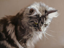 Maine Coon. The largest cat. Portrait of grey big cat main coon at home. Close up of handsome adult maine coon on blur background Royalty Free Stock Image