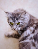 Maine Coon. The largest cat. Portrait of grey big cat main coon at home. Close up of handsome adult maine coon on blur background Royalty Free Stock Photography