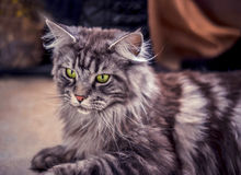 Maine Coon. The largest cat. Portrait of grey big cat main coon at home. Close up of handsome adult maine coon on blur background Royalty Free Stock Photos