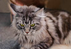 Maine Coon. The largest cat. Portrait of grey big cat main coon at home. Close up of handsome adult maine coon on blur background Royalty Free Stock Photo