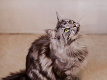 Maine Coon. The largest cat. Portrait of grey big cat main coon at home. Close up of handsome adult maine coon on blur background Stock Photo