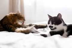 Maine coon licking and cleaning with  funny friend cat with moustache, sitting on comfortable bed in sunny stylish room. Two cute royalty free stock images