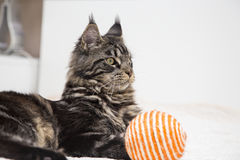 Maine Coon lies with the toy. Royalty Free Stock Image