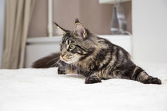 Maine Coon lies with the toy. Royalty Free Stock Images