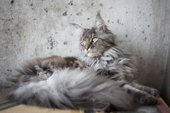 Maine coon on light grey background Stock Photography