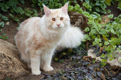 Maine Coon look forward Stock Photography