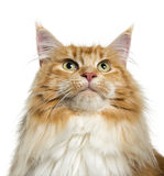 Maine Coon looking up (3 years old) Royalty Free Stock Photo